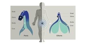男女の性器の構造比較
